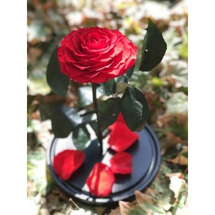 Красная роза-кинг в колбе