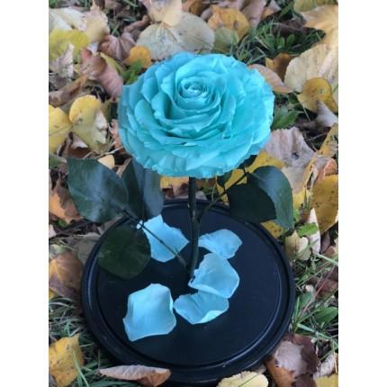 Голубая роза-кинг в колбе