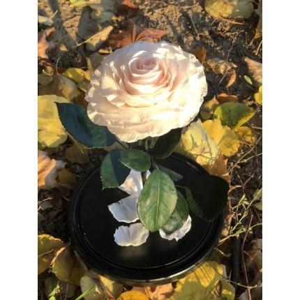 Нежно-розовая роза-кинг в колбе