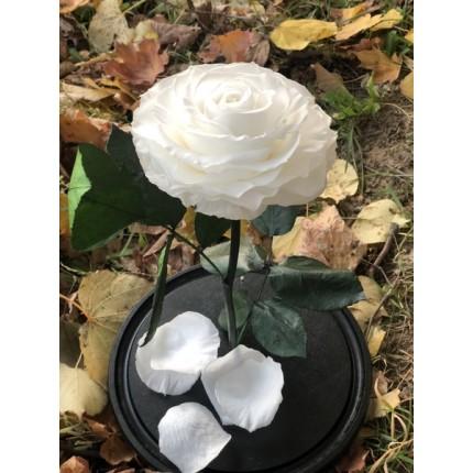 Белая роза-кинг в колбе